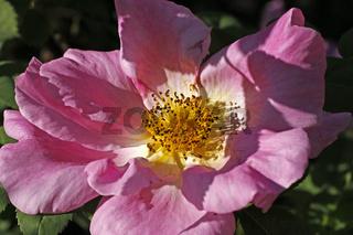 Rosa 'Marguerite Hilling', Strauchrose