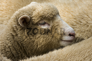Young Cornish Sheep England