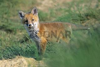 Rotfuchs, Fuchs, Jungfuchs, Fuchswelpe, Vulpes vulpes