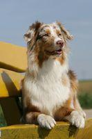 Australian Shepherd Junghund