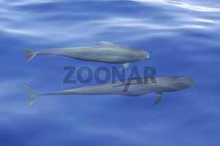Pilotwal mit Jungtier, Pilotwhale with calv