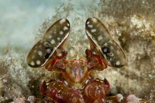 Komplexaugen eines Speer-Fangschreckenkrebs, Indonesien