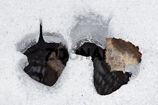 Birkenblaetter im Schnee, Lappland