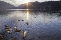 Höckerschwäne (Cygnus olor), Sonnenuntergang, Alpsee, bei Füssen, Ostallgäu, Bayern, Deutschland, Europa