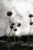 Kleine Blumen im Gegenlicht mit dem Meer im Hintergrund