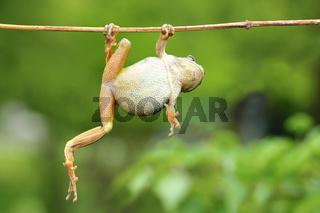 green tree frog climbing on twig ( Hyla arborea )