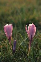 Fruehlings-Krokus (Crocus albiflorus)