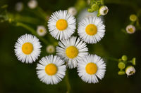 Flowers of white Erigeron