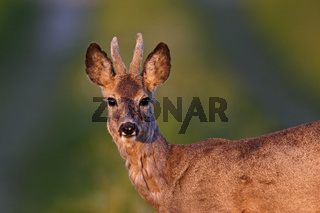 Reh, Capreolus capreolus, European roe deer