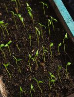 growing new pepper seedlings in a wood box