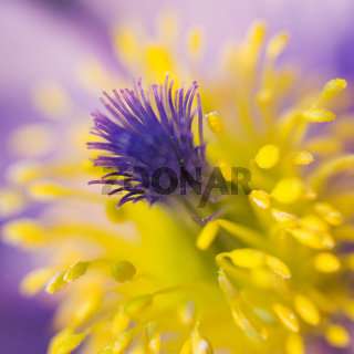 Gewöhnliche Küchenschelle (Pulsatilla vulgaris) - common pasque flower (Pulsatilla vulgaris)