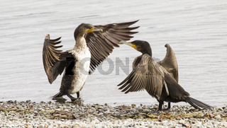 Kormorane  Phalacrocorax carbo
