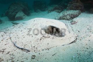 Diamant Stachelrochen, Galapagos, Ecuador