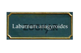 schild Goldregen,Laburnum anagyroides