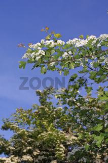 Blühender Weissdornstrauch