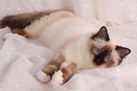 HEILIGE BIRMA KATZE, BIRMAKATZE, SACRED CAT OF BIRMA, BIRMAN CAT, BIRMANE, SEALPOINT,
