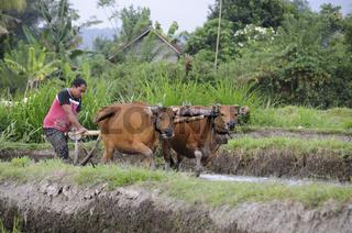 Bauer pflügt überflutetes Reisfeld mit Hilfe von 2 Rindern