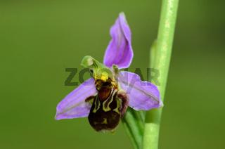 Bienen-Ragwurz (Ophrys apifera) Bluete Nahansicht