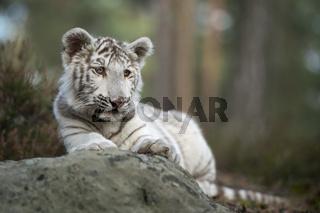 ruhend... Königstiger *Panthera tigris*