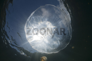 Ohrenqualle, Aurita aurita, Quallensee, Mikronesien, Palau, Moon Jellyfish, Jellyfish Lake, Micronesia