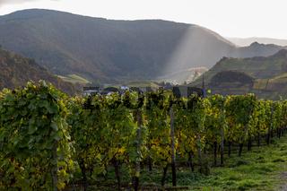 Weinstöcke im Ahrtal