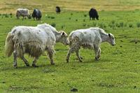 Yaks auf der Weide, Mongolia