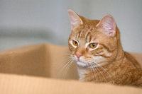 Eine rot getigerte Katze sitzt in einem Karton