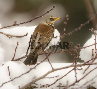 Mistle thrush bird sitting on a snow covered tree