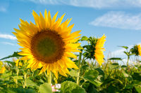 Blühende Sonnenblumen vor einem Feld, im Hintergrund befindet sich ein blauer Himmel.