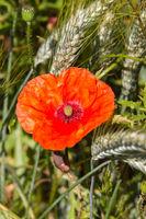 Mohnblume im Getreidefeld 5