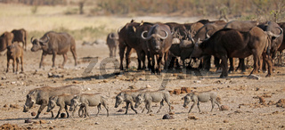 Warzenschweine mitten in Kaffernbüffeln, Syncerus caffer, im Kruger Nationalpark, Südafrika, South Africa, warthogs and african buffalos