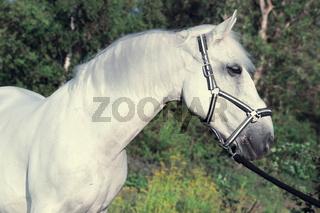 portrait of Lipizzaner horse