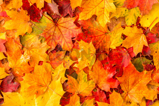 Wet autumnal maple leaves in a morning