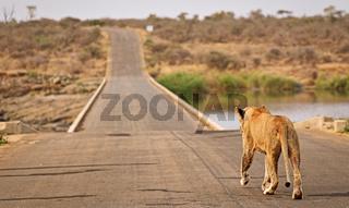 Löwin marschiert über die Brücke bei Lower Sabie, Kruger NP, Südafrika - lioness walks over the bridge at Lower Sabie, Kruger NP, South Africa