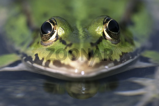 Wasserfrosch, Portrait, Rana esculenta, edible frog