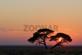 Schirmakazie, Akazie (Acacia tortilis) im Sonnenaufgang, Etosha-Nationalpark, Namibia, Afrika, Umbrella Thorn Acacia at sunrise, Africa