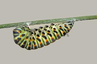 Schwalbenschwanz Raupe Papilio machaon