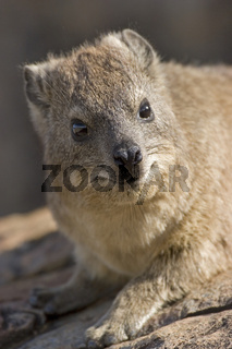 Klippschliefer, Suedafrika