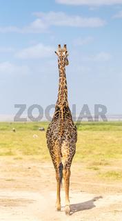 Solitary giraffe in Amboseli national park, Kenya.