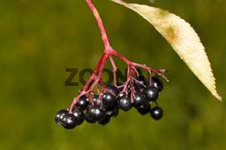 Schwarzer Holunder Sambucus nigra