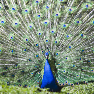 balzender Pfau - courtship peacock
