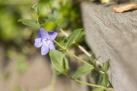 Kleines Immergrün (Vinca minor), Blüte