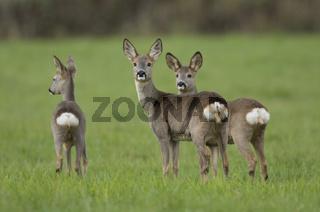 Reh, Capreolus capreolus, Roe deer