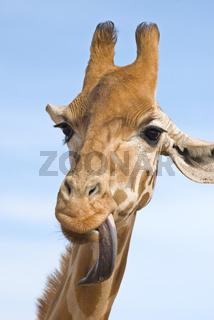 giraffe looking stupid