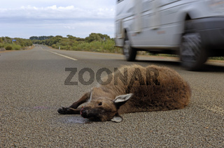 überfahrenes Kangaroo Island Kangaroo, Macropus fulliginosus fulliginosus Australien