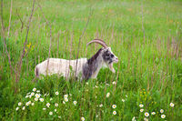 goat on green pasture