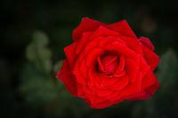 Bright red rose flower with dark green garden background