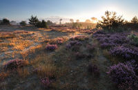 sunrise over heathland and pine trees