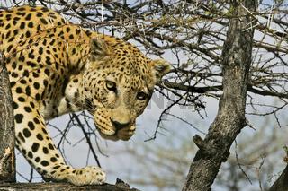 Leopard (Panthera pardus) auf einem Baum, Namibia, Afrika, Leopard sitting on a tree, Africa