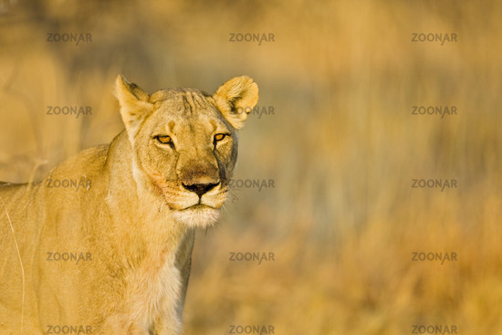 Loewin (Panthera leo), Nxai Pan, Makgadikgadi Pans National Park, Botswana, Afrika, Lioness , Africa